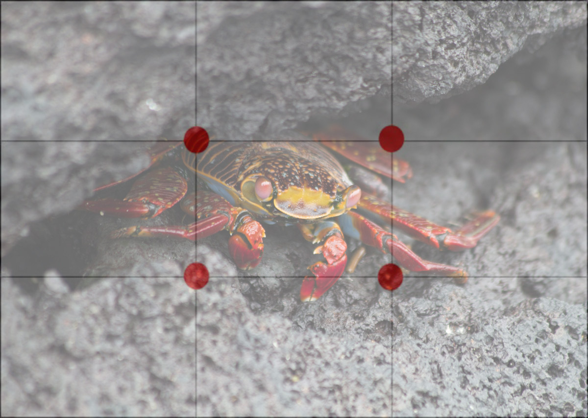 Galapagos-Sally-Lightfoot-crab-with-grid