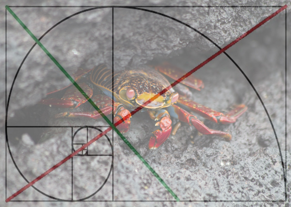 Galapagos-Sally-Lightfoot-crab-with-spiral