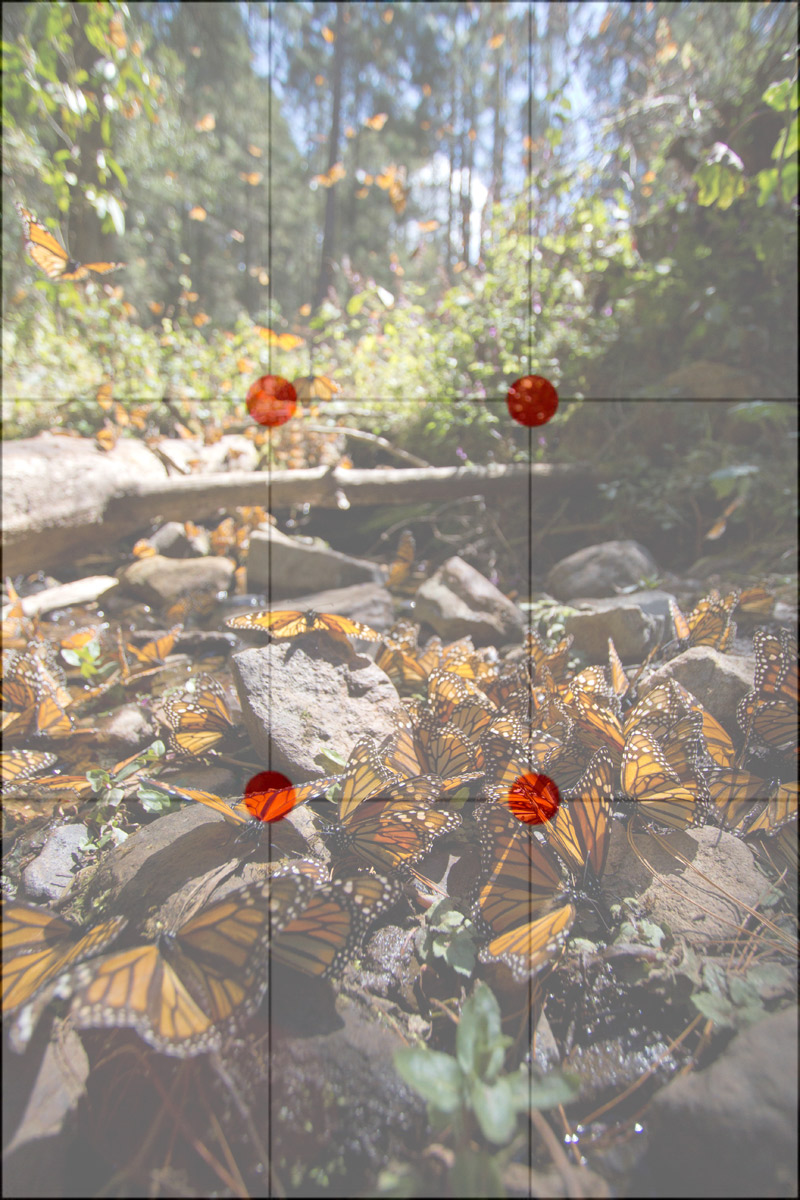 Monarch-butterflies-with-grid