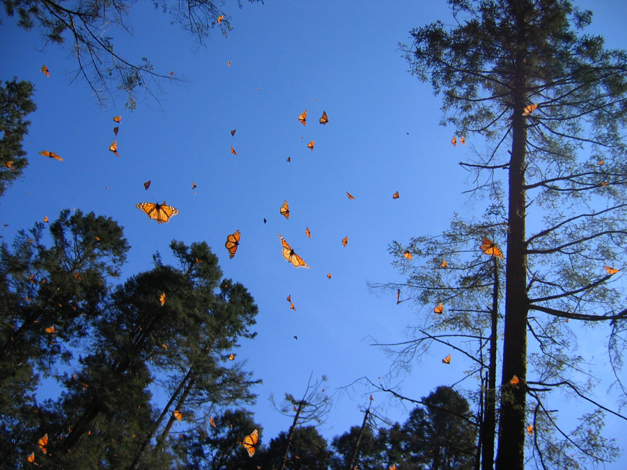 monarchs pines mexico