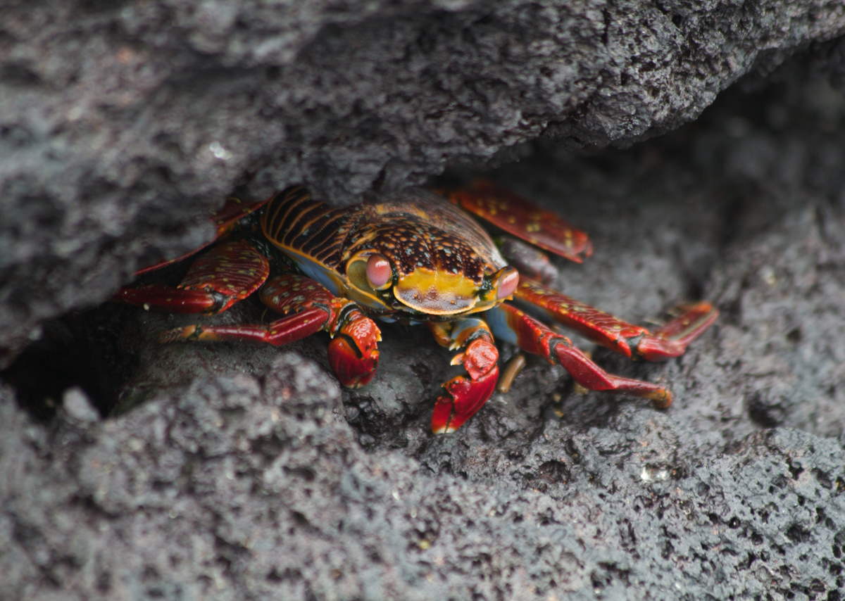 Galapagos-Sally-Lightfoot-crab