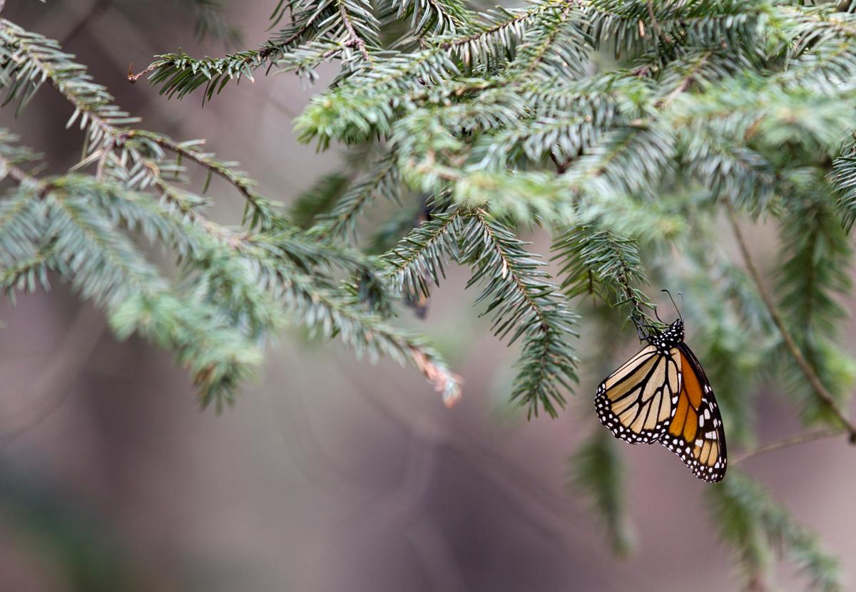 monarch butterfly, photo tour, danaus plexippus