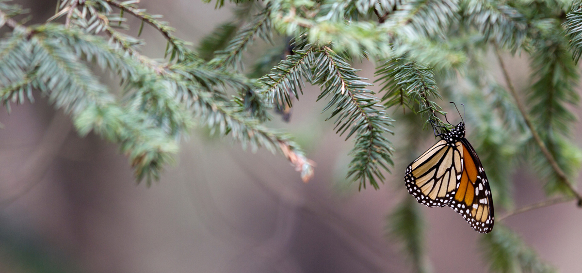 monarch butterfly, monarch migration, butterfly, photo tour, photography