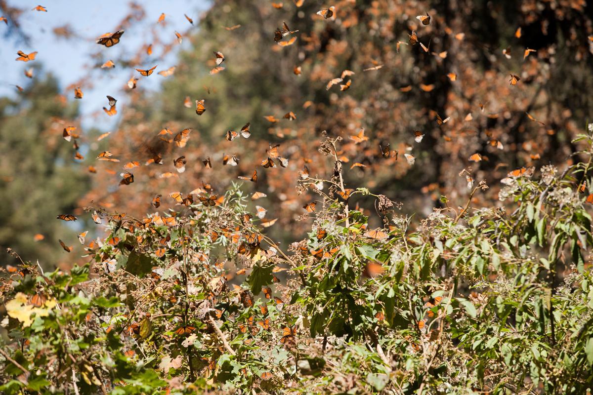 monarch butterfly, photo tour, mexico, el rosario