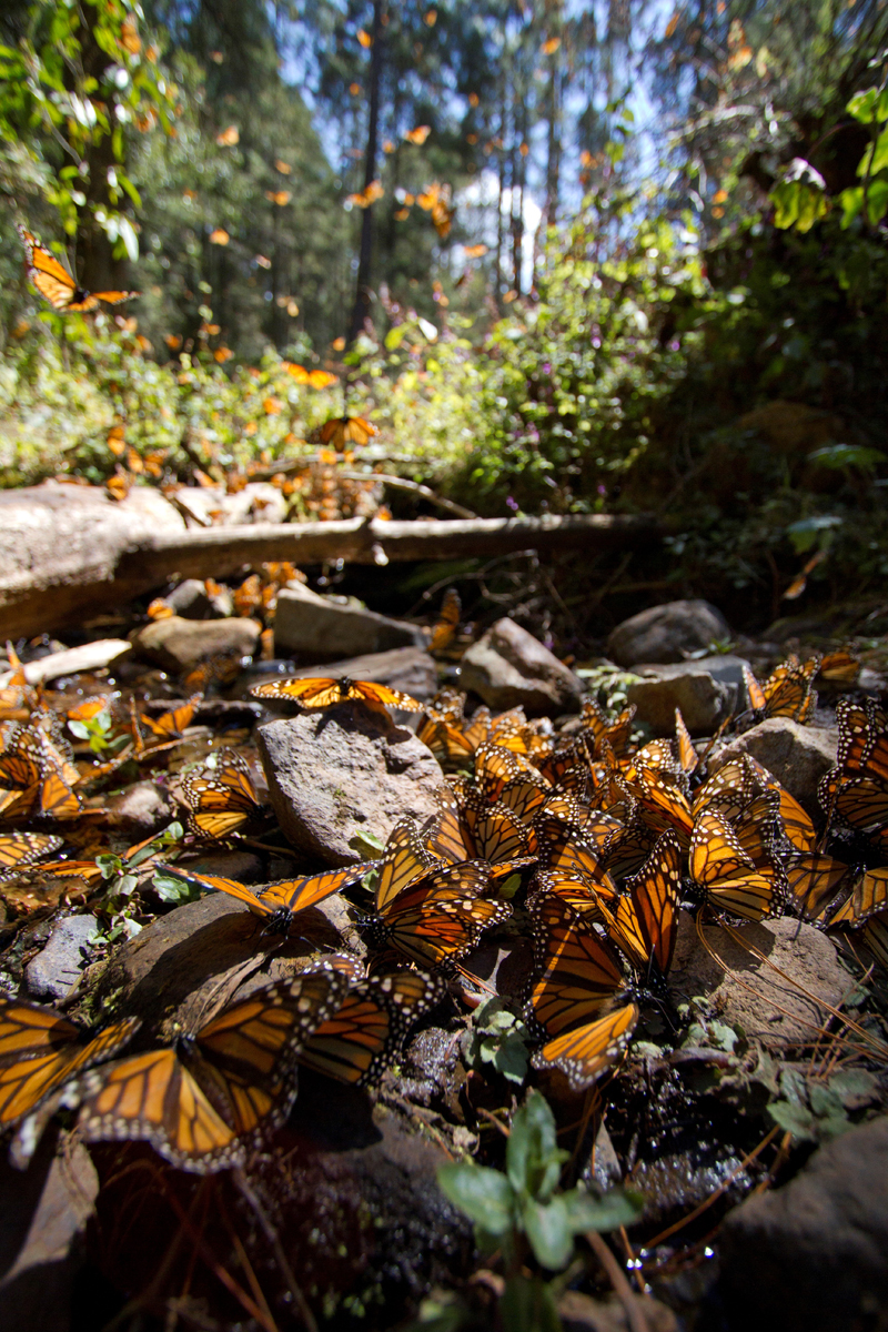 mexico, monarchs, butterfly, monarch butterflies, photo tour, wildlife photography