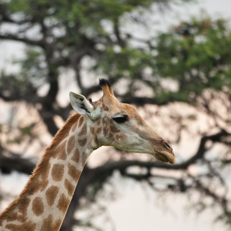 Giraffe closeup on safari in Botswana