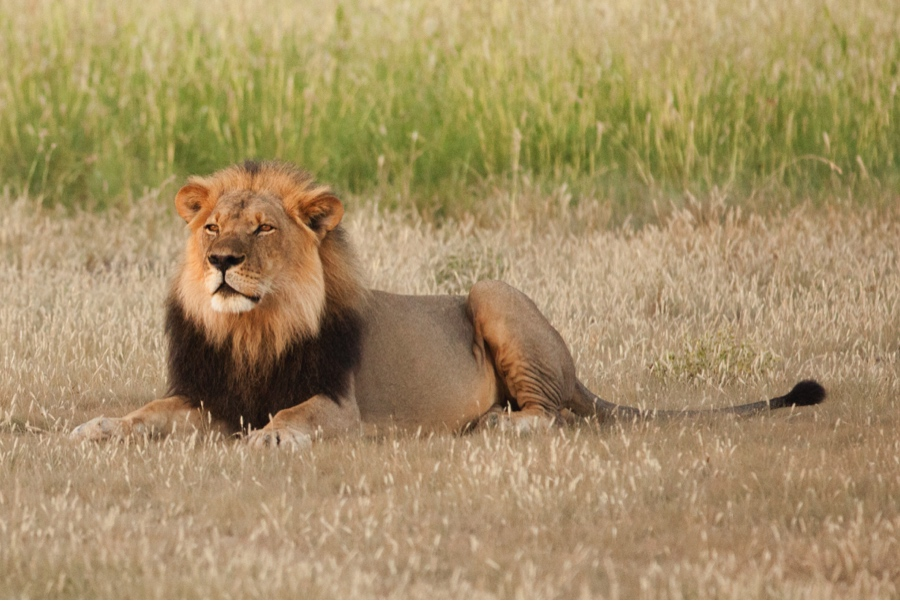 A male lion reclines in the grasslands