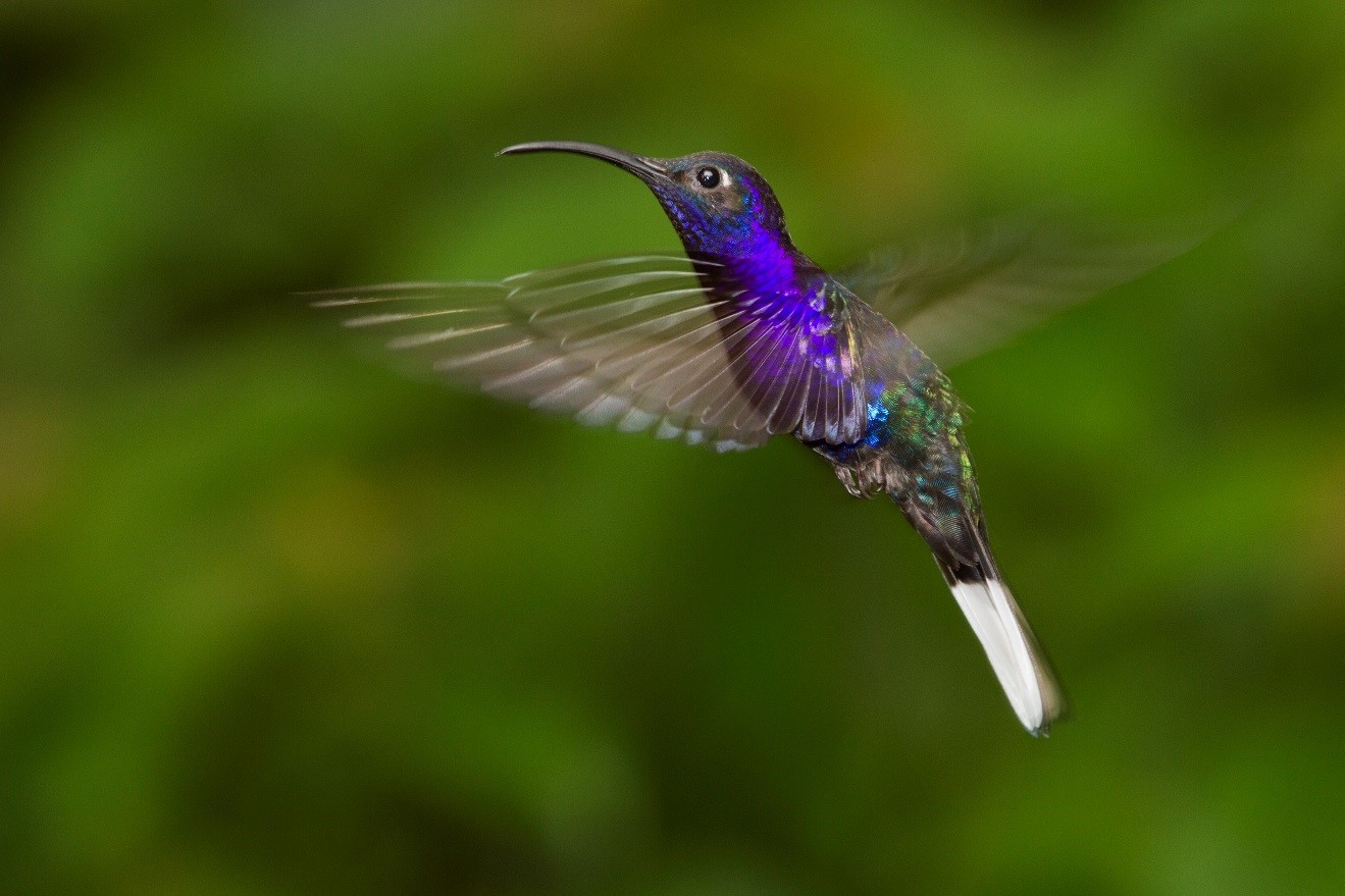 Hummingbird in Costa Rica 2