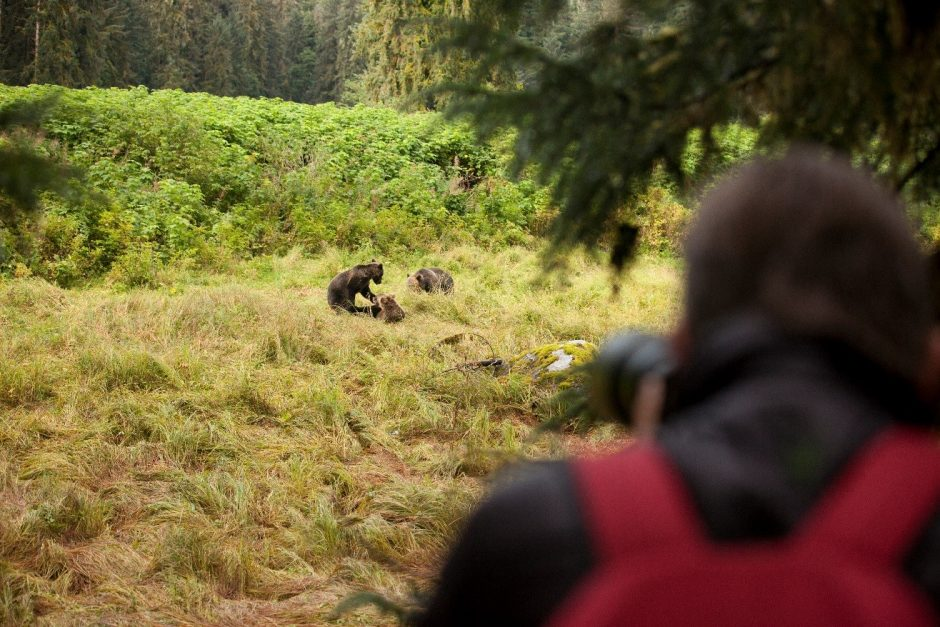 bears, anan creek, alaska
