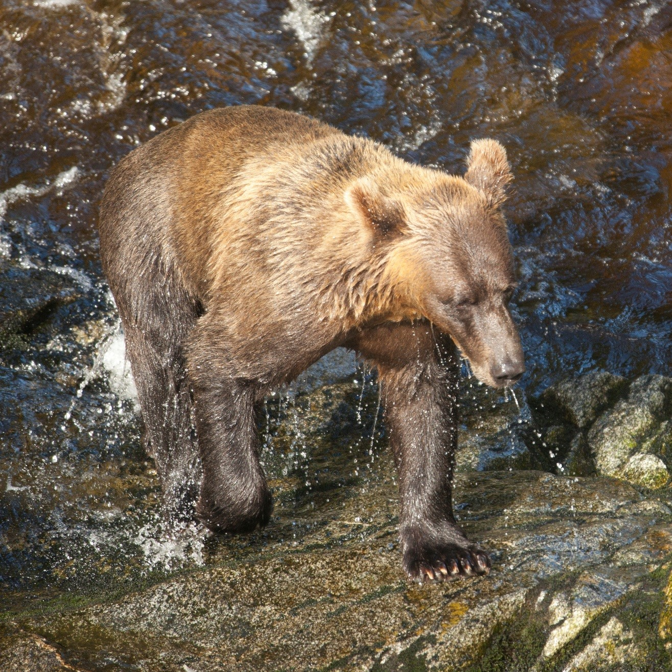 brown bear, anan creek, alaska