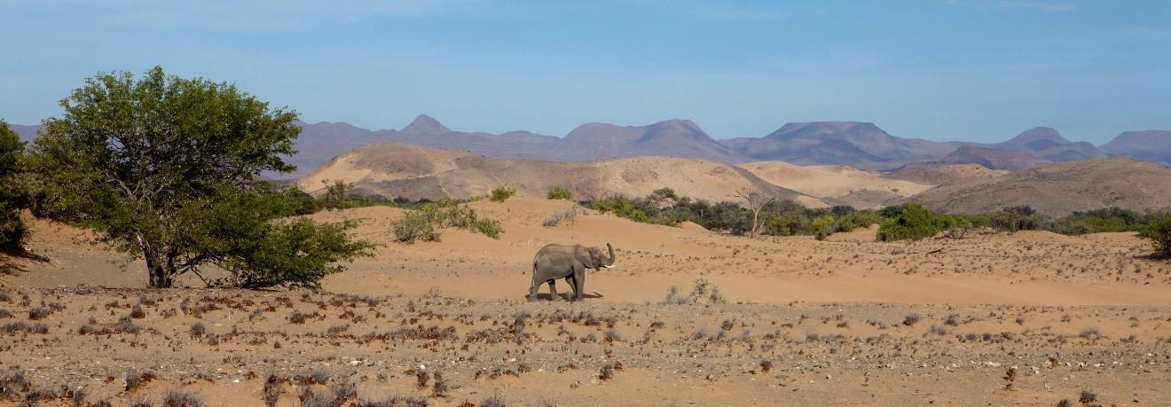 Elephant in the Namib Desert