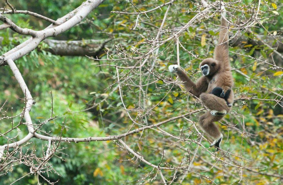 gibbon, asia, primate, wildlife, thailand