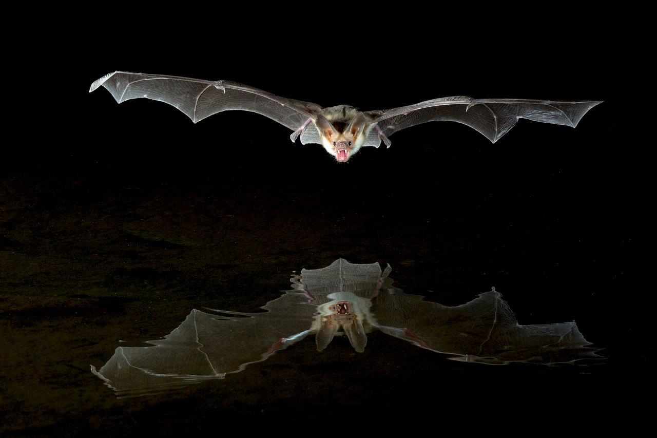 Pallid Bat Reflection