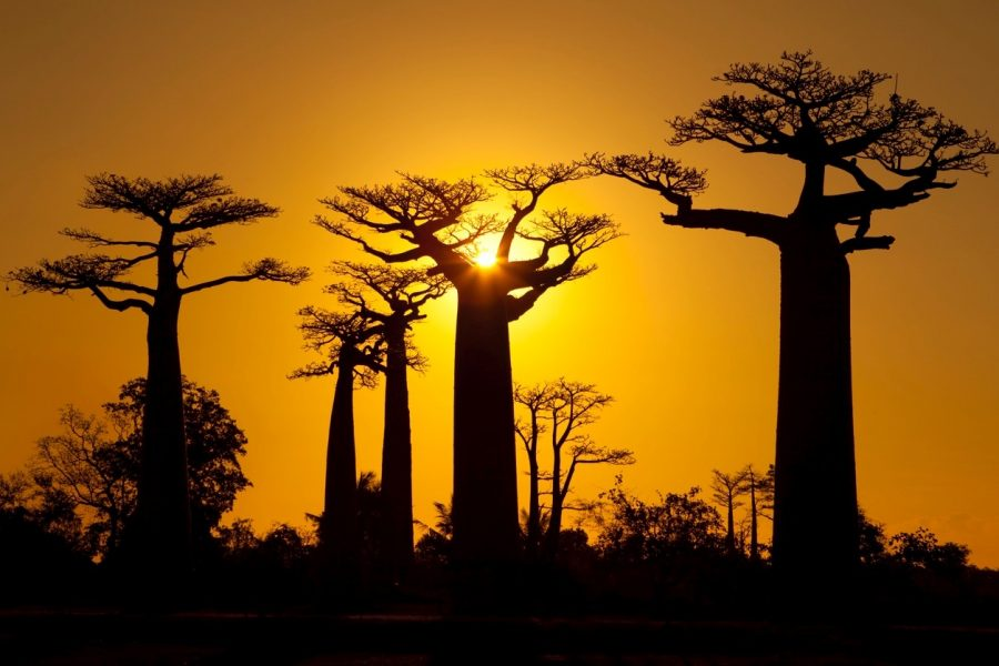 a golden sun sets behind towering baobab trees in madagascar