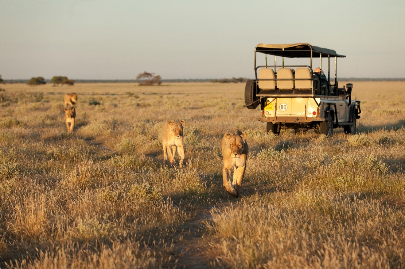lions walking in the afternoon golden light of the kalahari desert, with safari vehicle