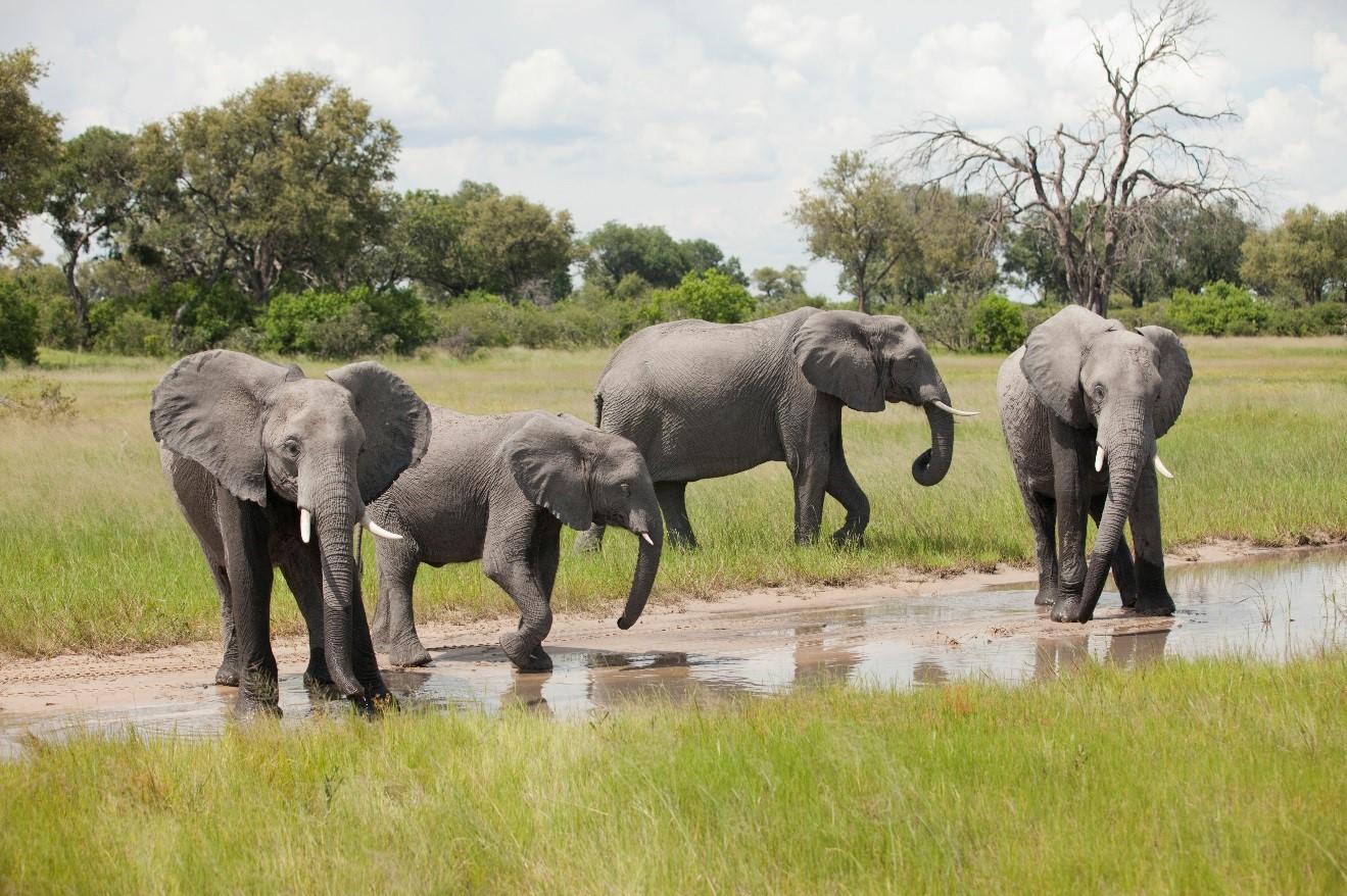 4 elephants bathing in the okavango delta