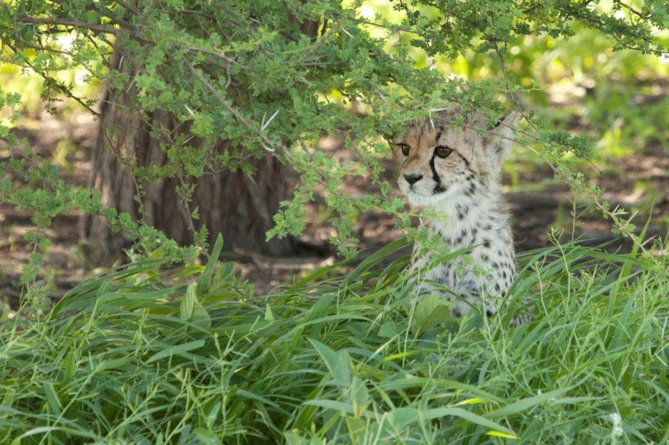 a cheetah cub in the kalahari desert during green season