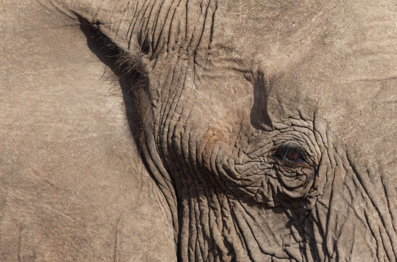 zoomed in image of a desert elephant in namibia, showing just part of its face