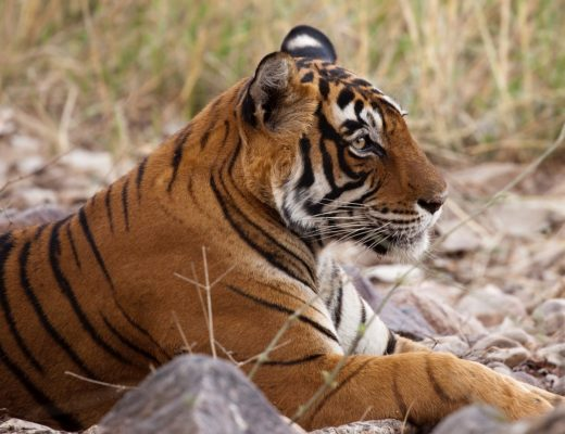 side profile of tiger sitting up in the grass