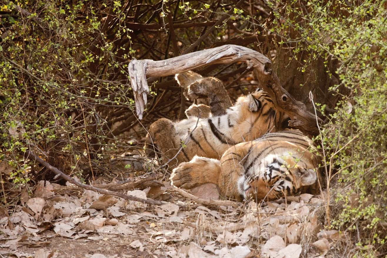 two tigers resting in the shade lying on their backs