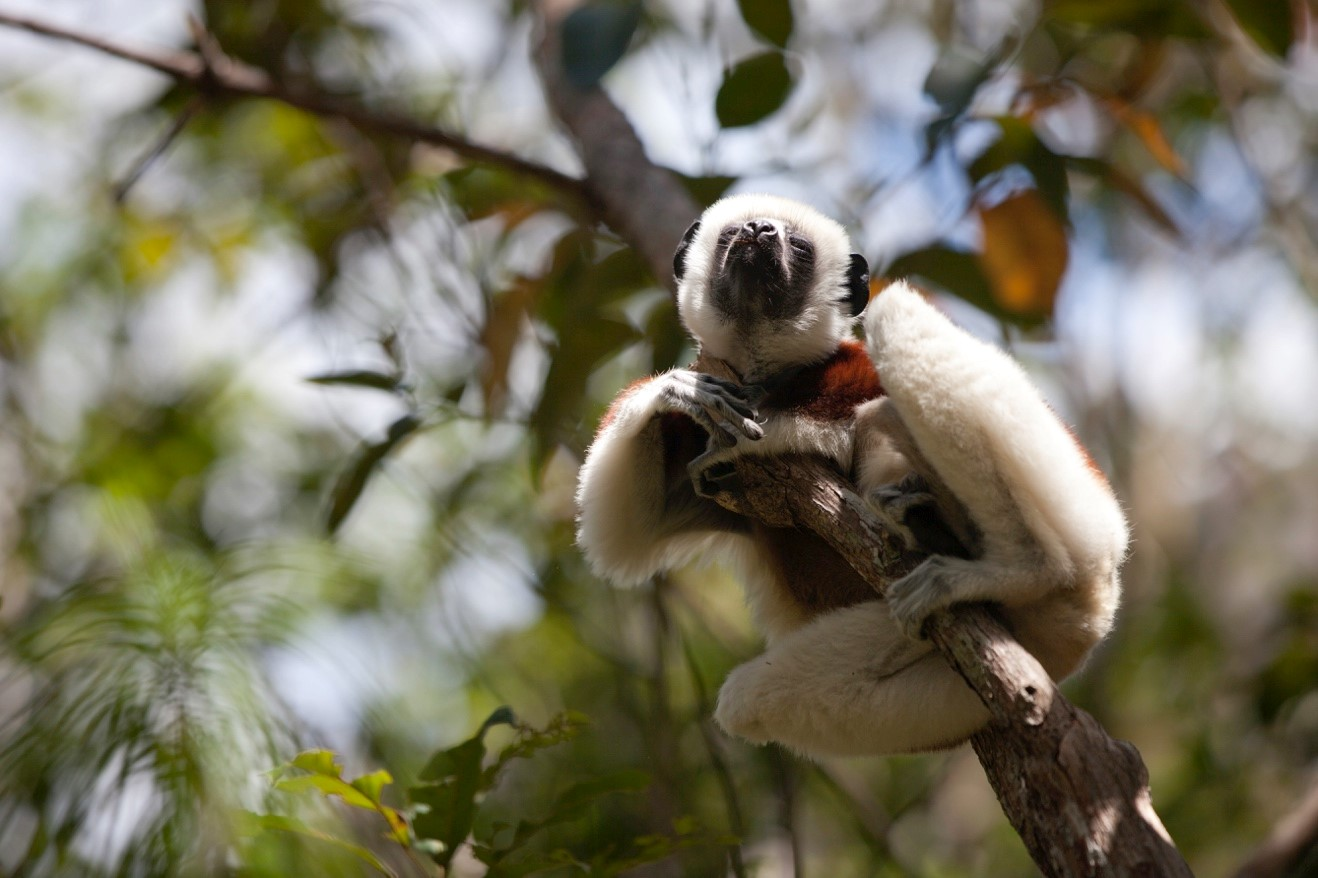image of sifaka relaxing in the sun on a tree branch