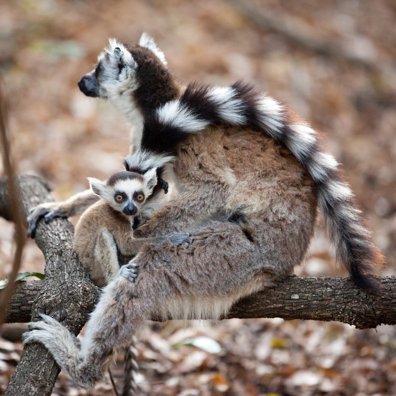 a mother and offspring ring-tailed lemur in Isalo National Park