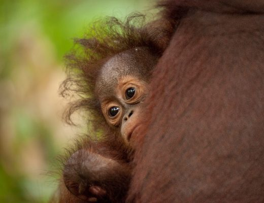 a young orangutan clings to its mother with big brown eyes