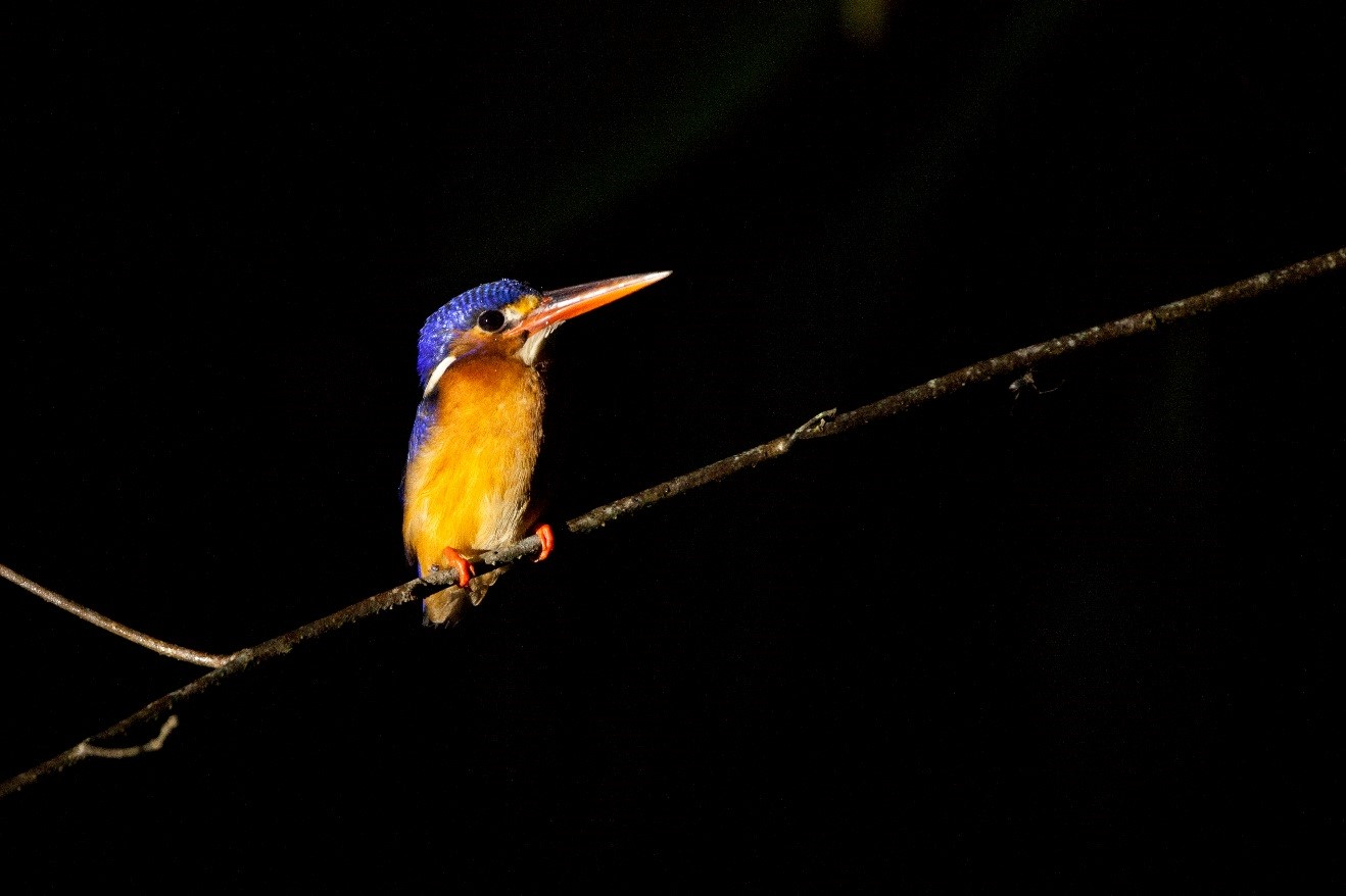 a small kingfisher perches on a branch at night in the kinabatangan river in borneo