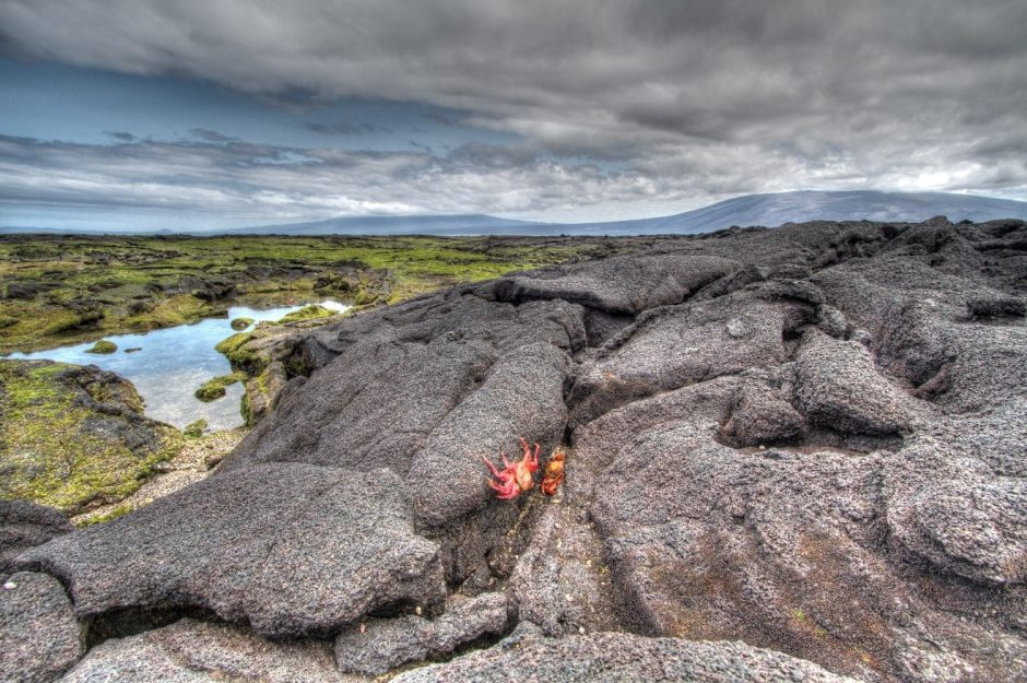 a red sally lightfoot crab sitting on lava rock in the galapagos islands