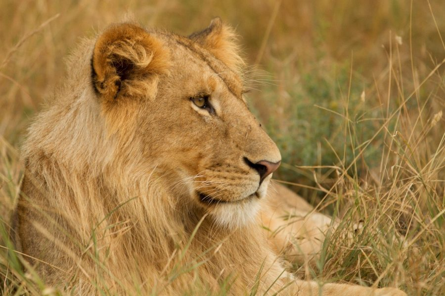 a young male lion profile sitting in the grass