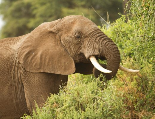 a large male elephant eating from a bush