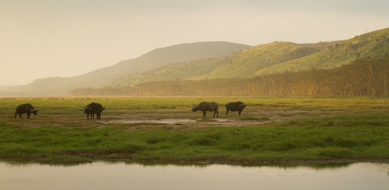 several cape buffalo graze along the edge of a lake in east africa
