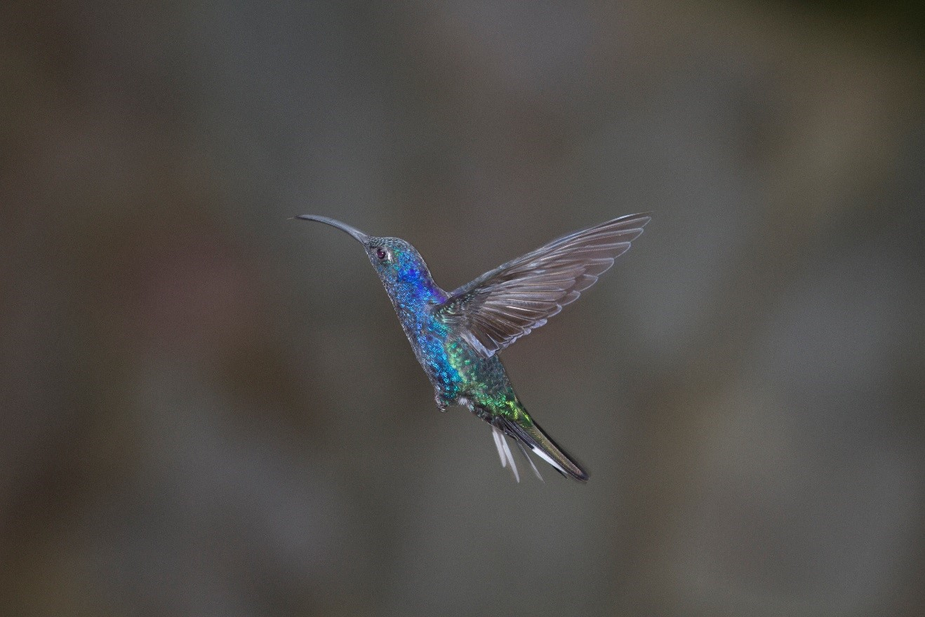 "a blue and purple ""violet sabrewing"" hummingbird frozen in time with a photograph in Costa Rica's Monteverde"