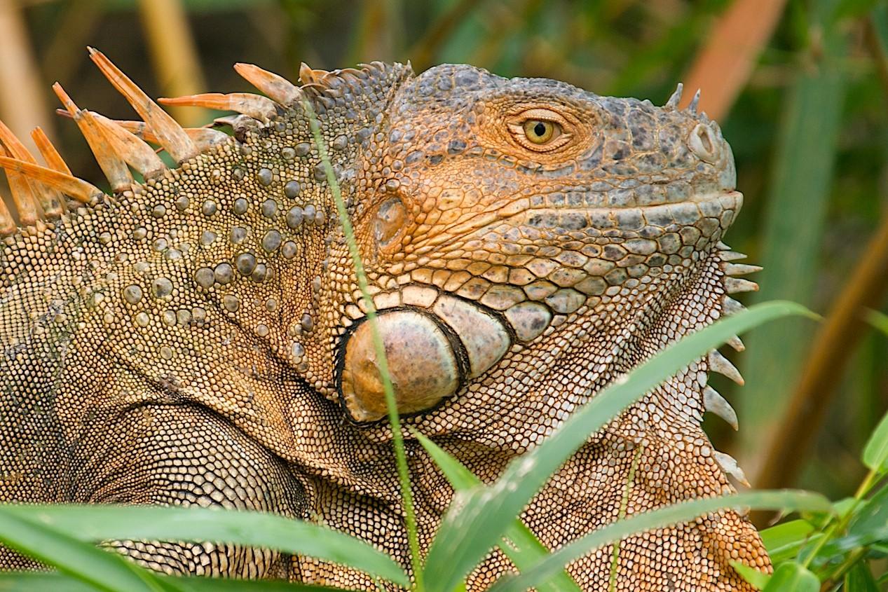 a large male tree iguana profile