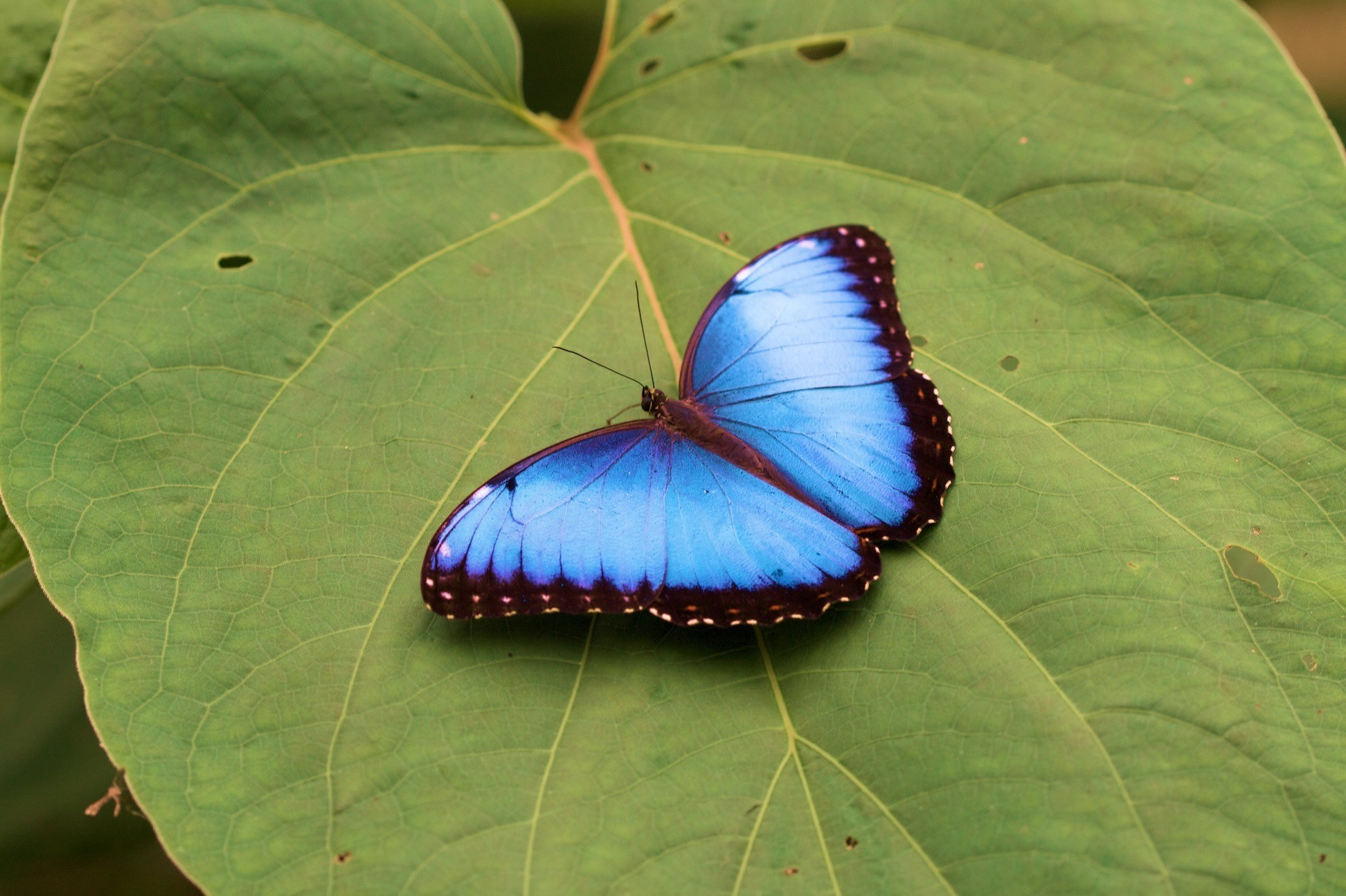 a striking blue morpho butterfly sits on a leaf in costa rica