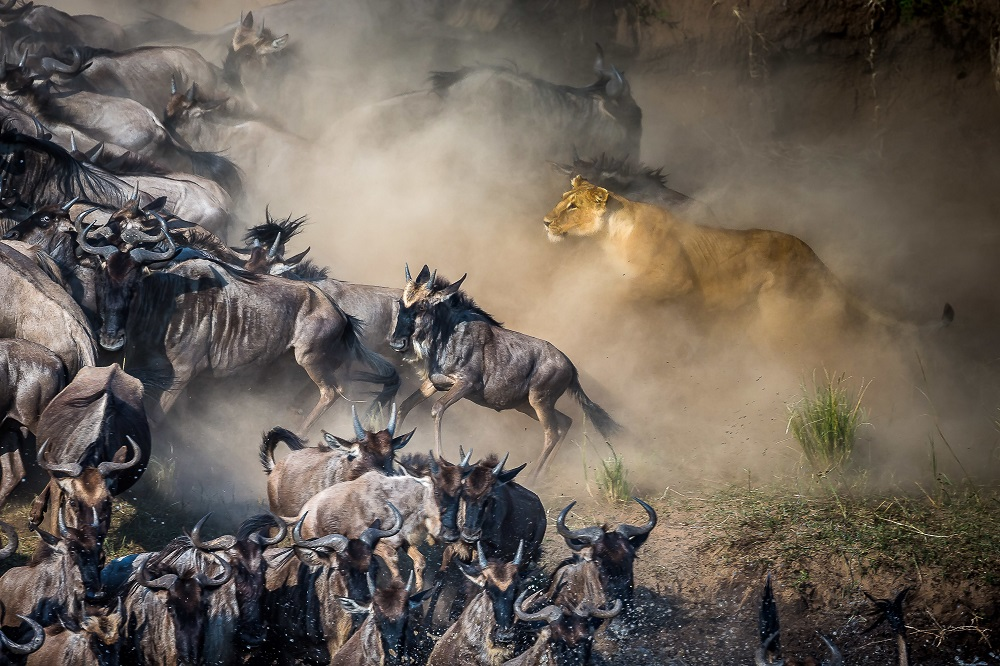 Beauty and the Wildebeest