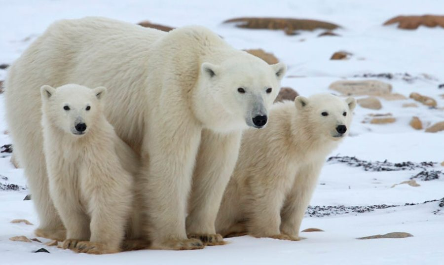 a mother and two young polar bears rest for a moment in the snow of churchill