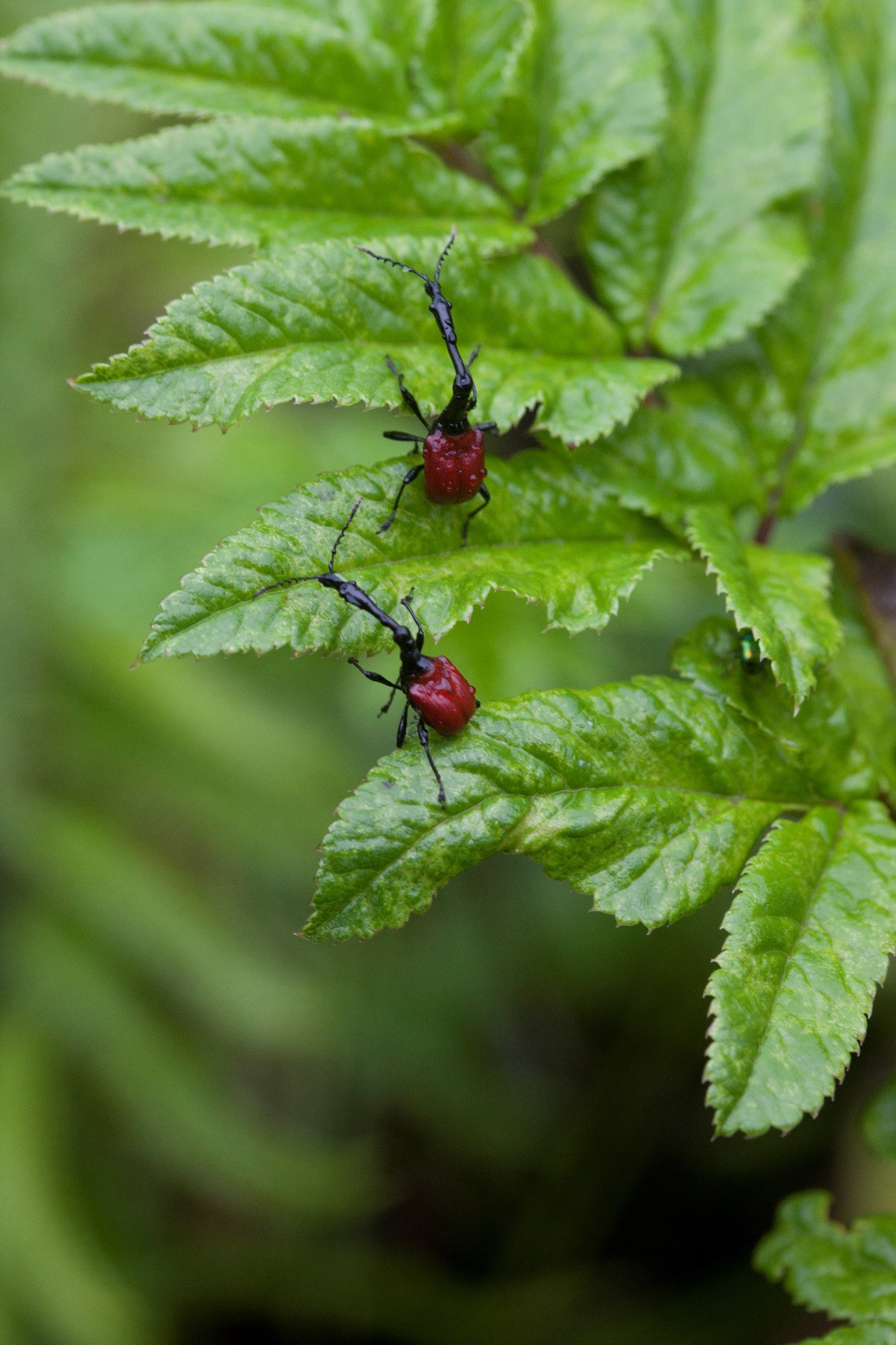 two weevils in Madagascar posturing on a small shrub