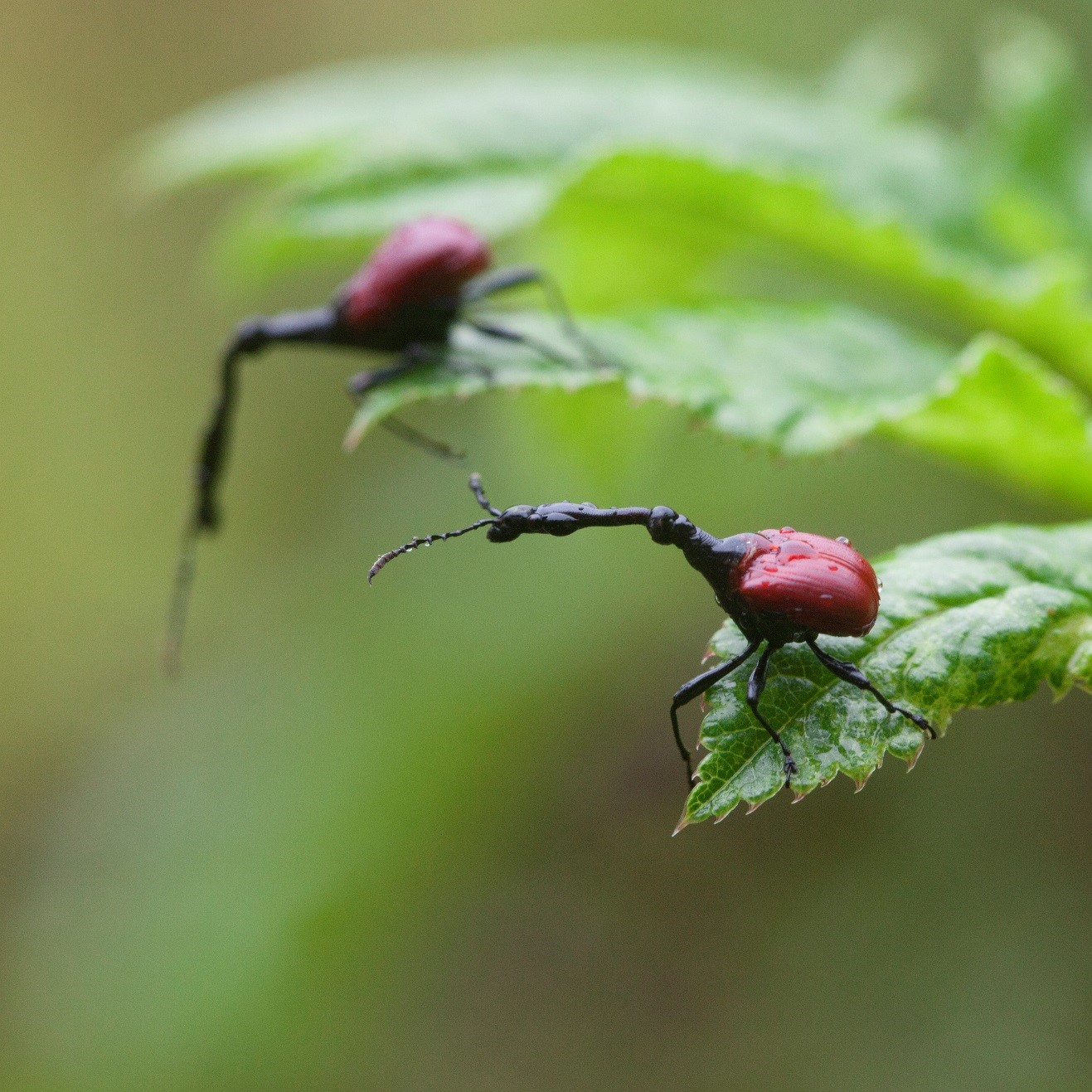 a photo of two male giraffe-necked weevils perched at the tips of green leaves