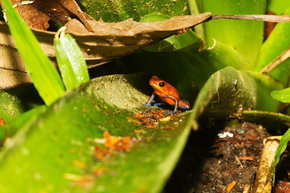 a small poison arrow frog sitting on a bromeliad in costa rica