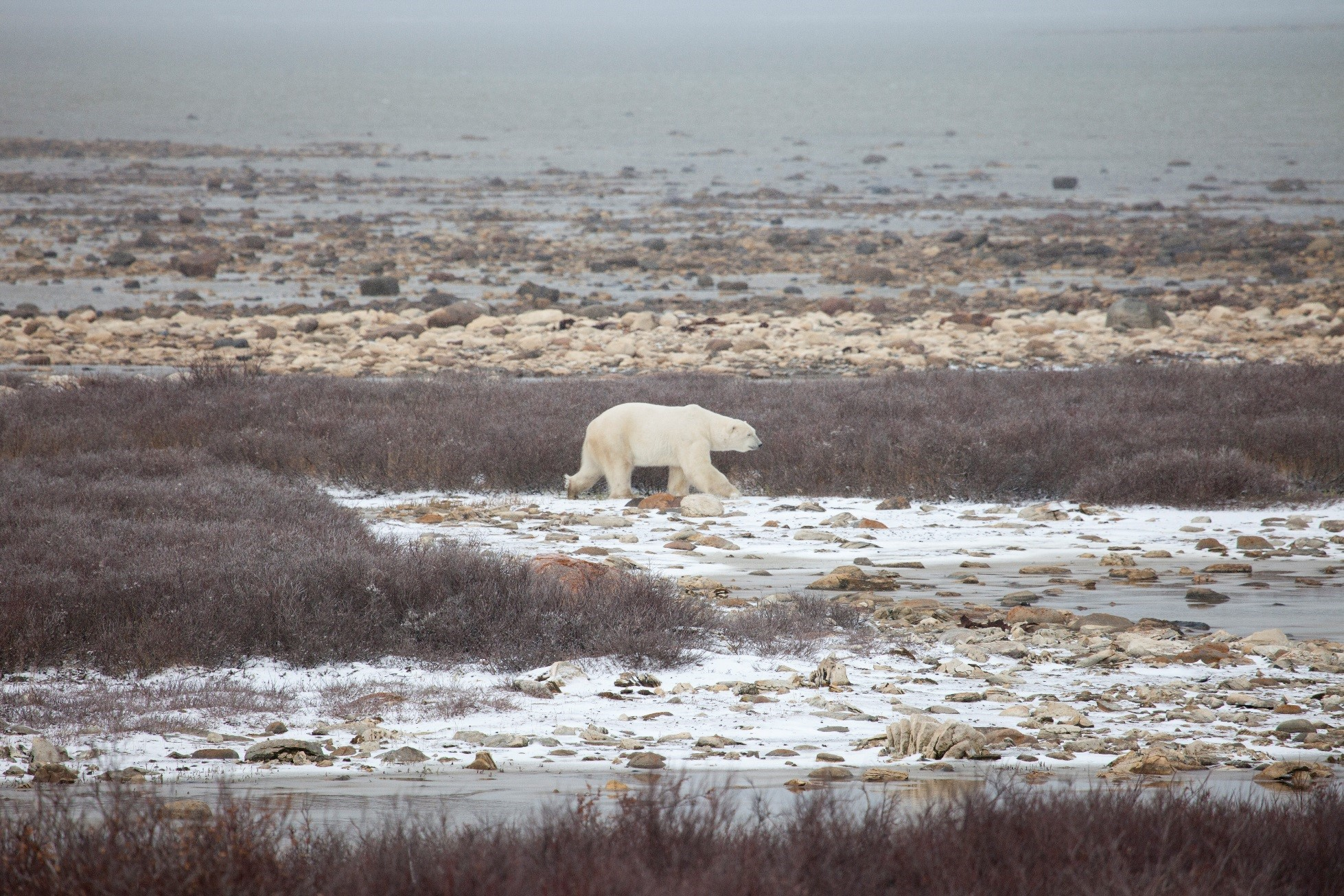a large male polar bear walking between snowy tundra and red willow bushes