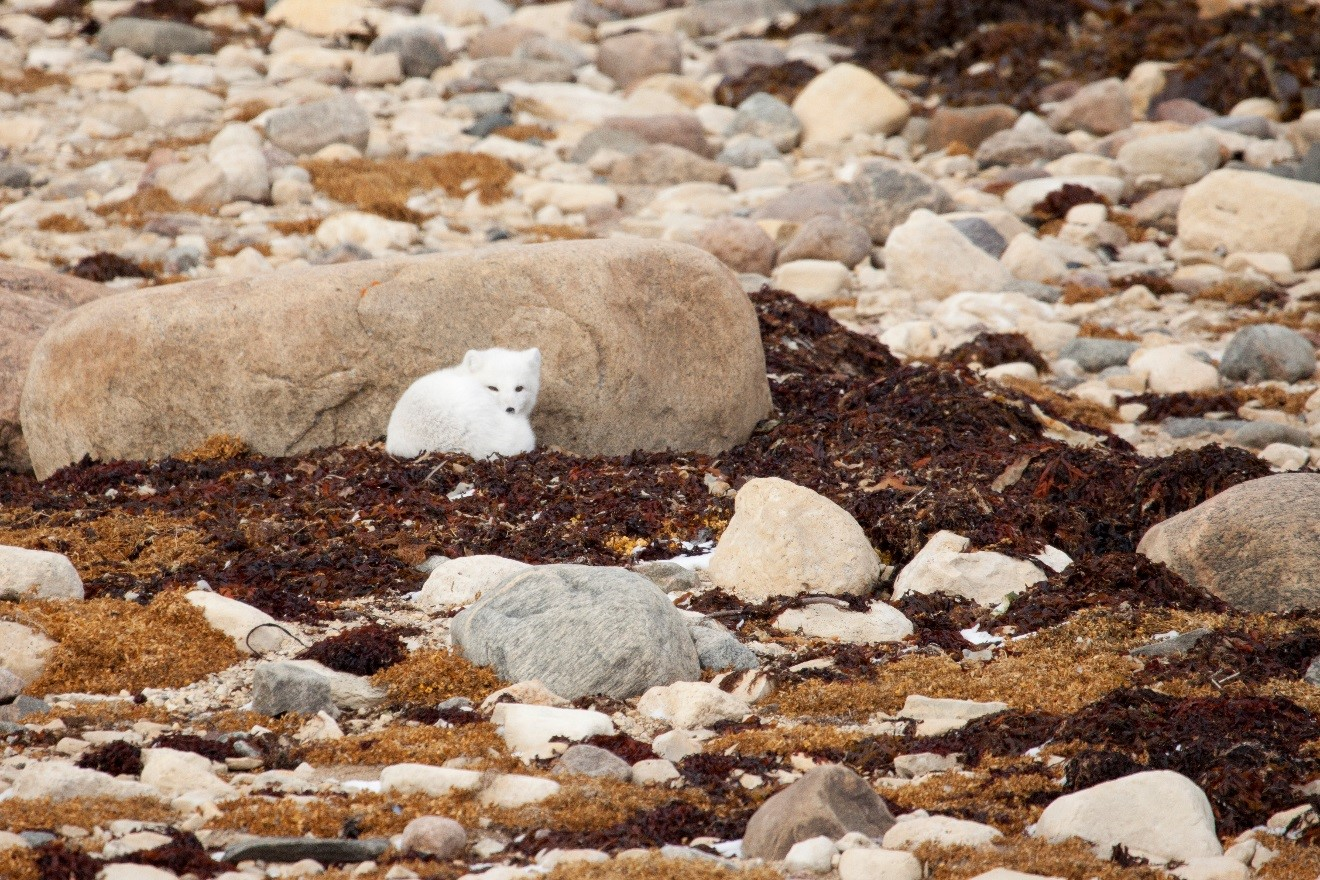 a small arctic fox curled up next to a rock with fall tundra colors around it