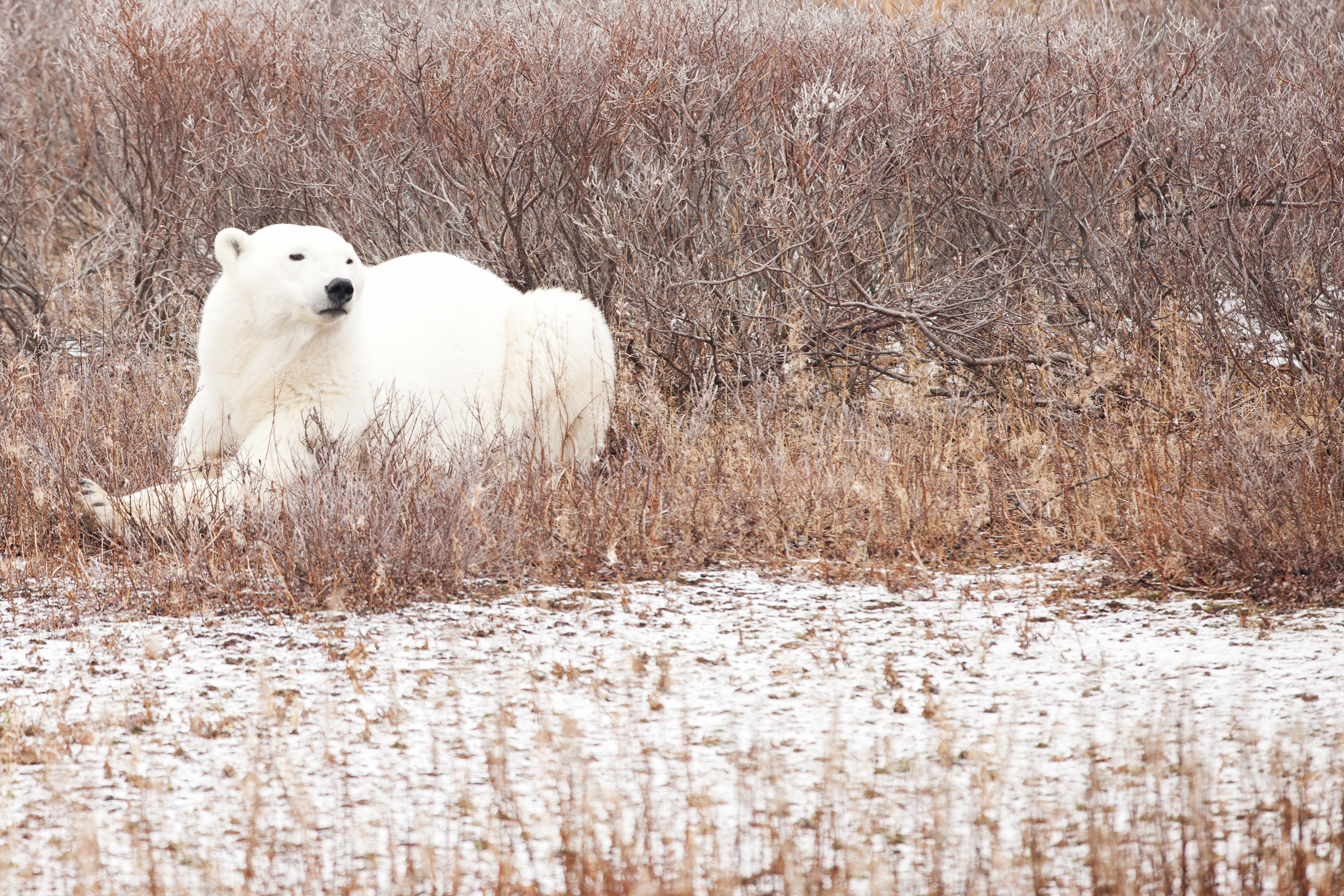 an adult polar bear rests in the grasses with a dusting of snow