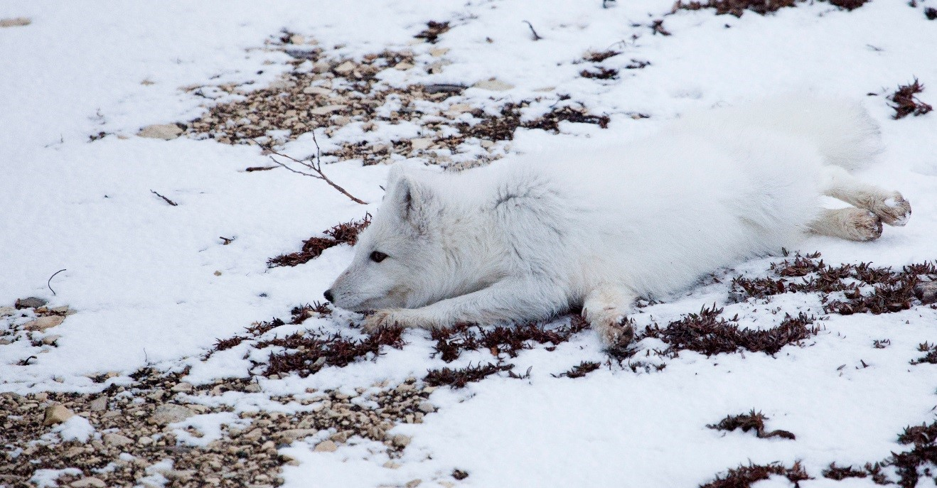 an adult arctic fox blending into its environment with snow and white coat