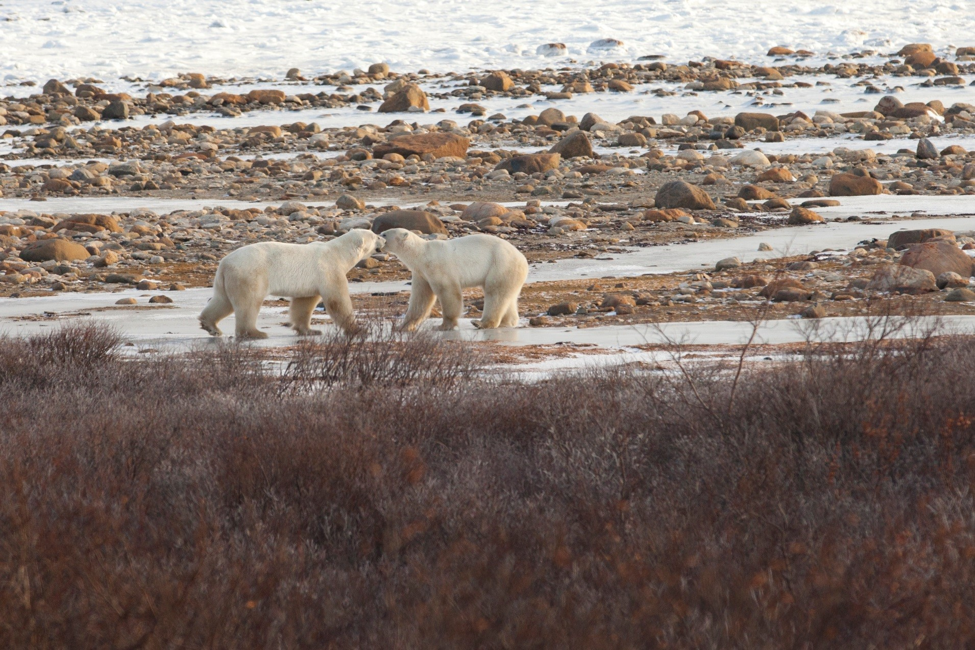 two male polar bears sparring on the edge of hudson bay