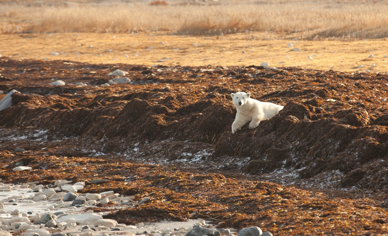 a young polar bear sits in the grasses and seaweed on the shore of hudson bay