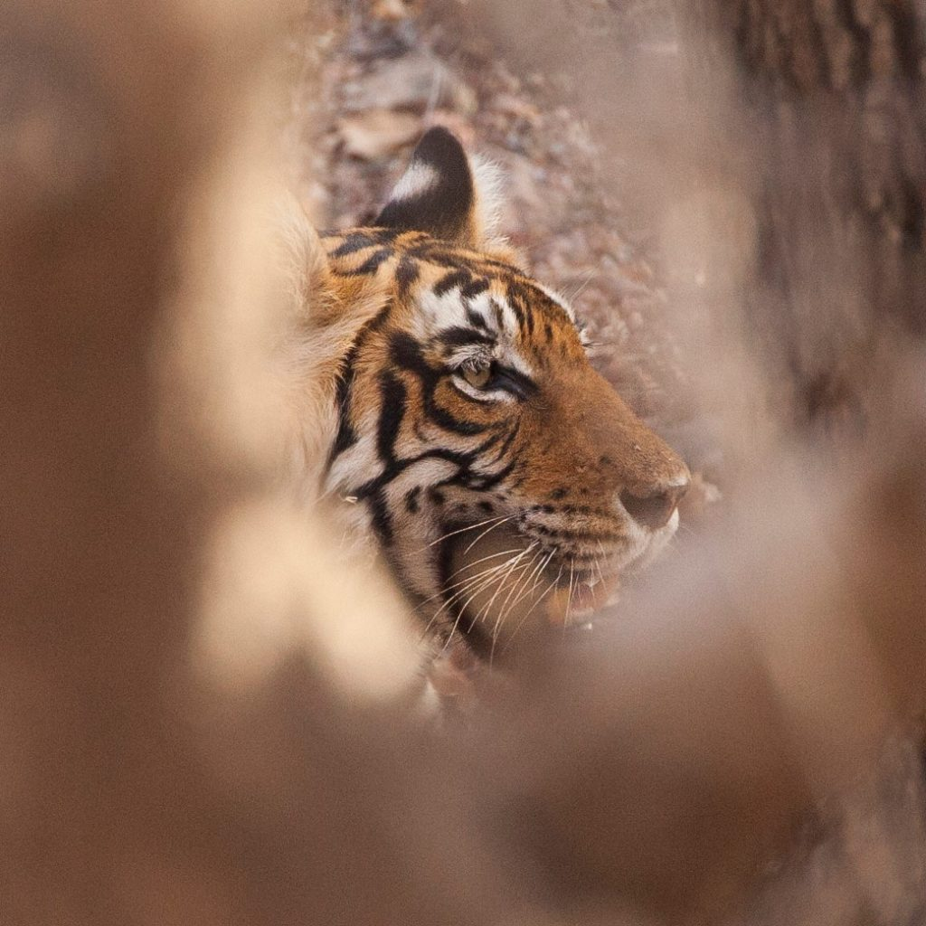 a large tiger photographed through space in a tree with blurred foreground