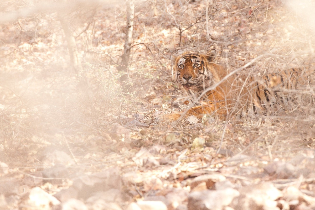 an adult tiger photographed through the brush in Ranthambore