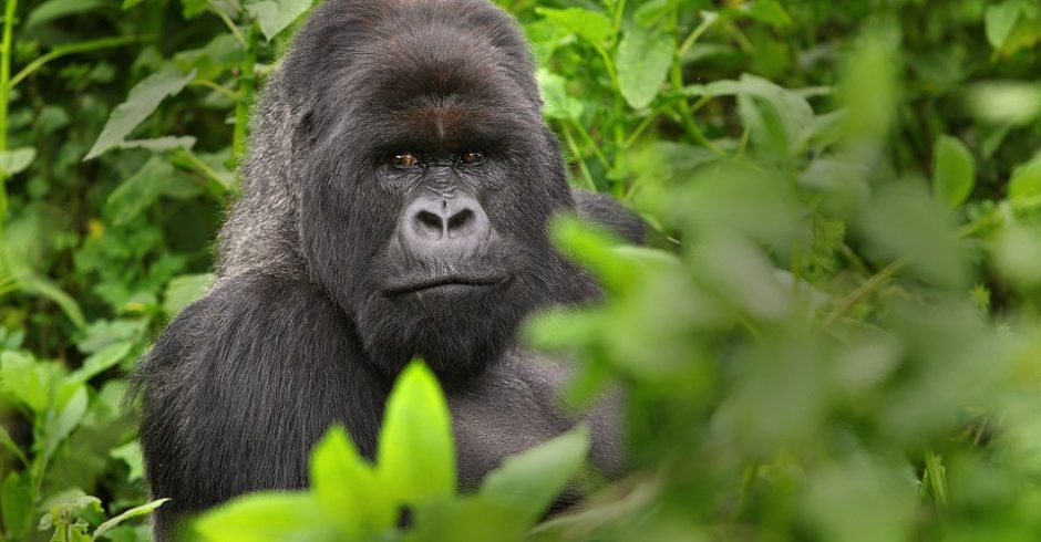 a large male silverback gorilla sits in the bushes of virunga national park