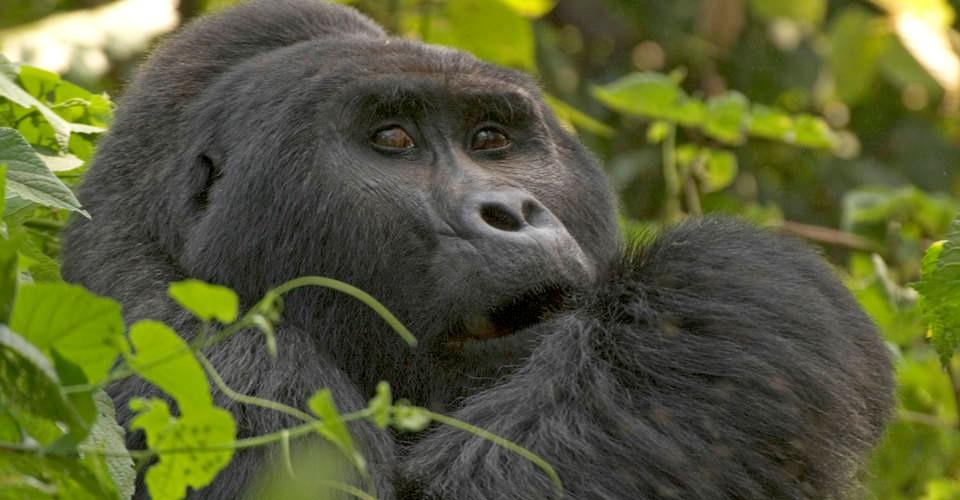 a close up photo of a mountain gorilla in uganda